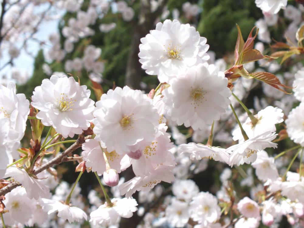 薄墨桜の写真